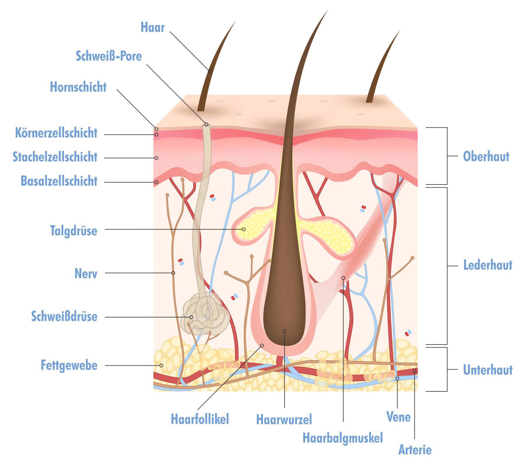 Narbenbehandlung: Aufbau der Haut